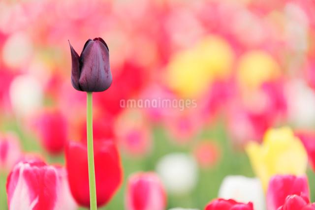 黒いチューリップの写真素材 [FYI01520309]