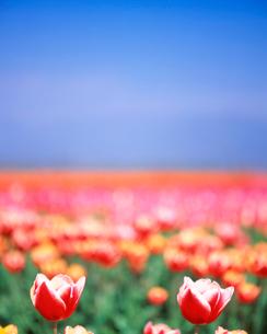 チューリップ畑の写真素材 [FYI01520332]
