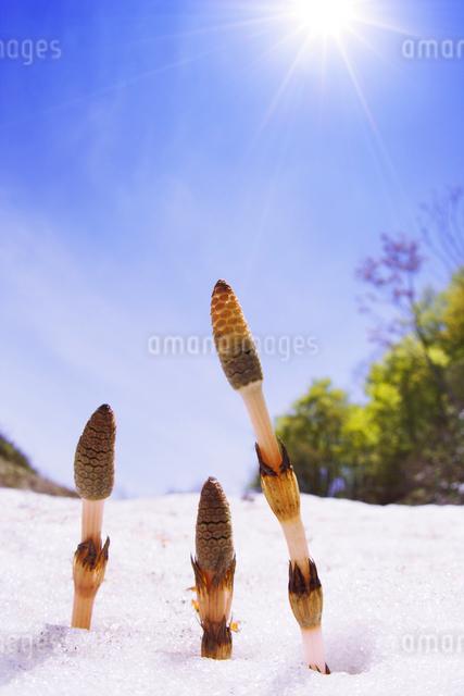 ツクシと雪の写真素材 [FYI01520336]