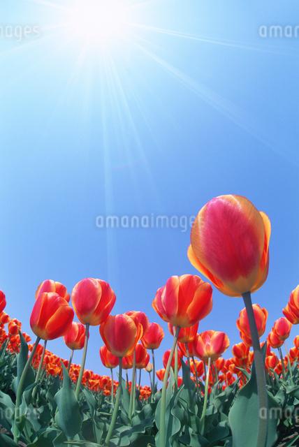 チューリップ畑と太陽の写真素材 [FYI01520349]
