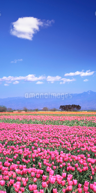 チューリップ畑と五頭連峰の写真素材 [FYI01520384]