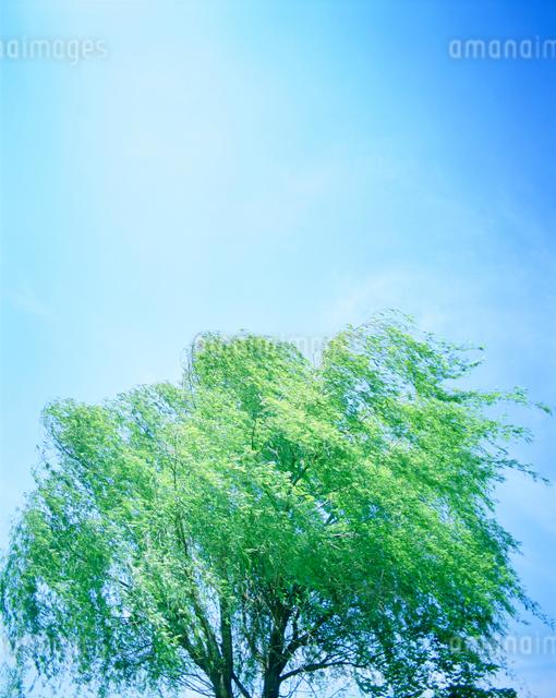 シダレヤナギと風の写真素材 [FYI01520404]