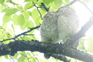 エゾフクロウの幼鳥の写真素材 [FYI01520434]