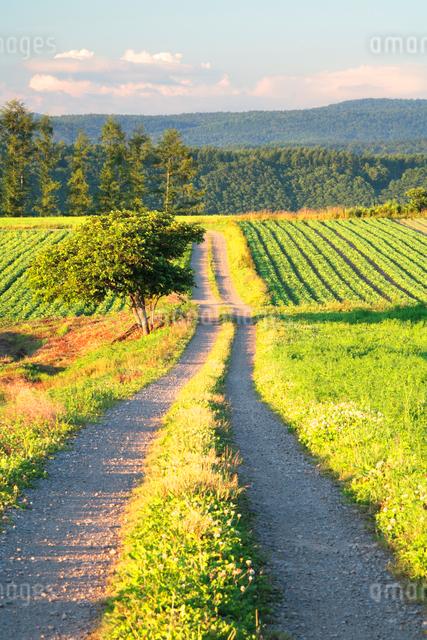 ジャガイモなどの畑と道と木立の写真素材 [FYI01520457]