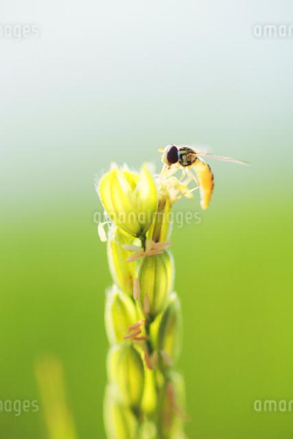 稲の花とハナアブの写真素材 [FYI01520576]