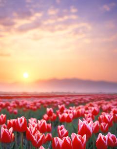 チューリップ畑と朝日と五頭連峰の写真素材 [FYI01520611]