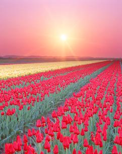 チューリップ畑と夕日の写真素材 [FYI01520620]