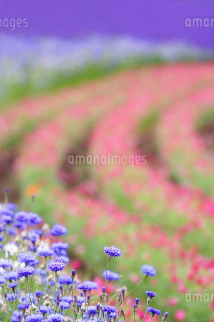 ヤグルマソウなど花畑の写真素材 [FYI01520687]