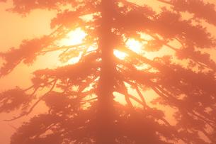 朝霧とエゾマツと朝日の写真素材 [FYI01520763]