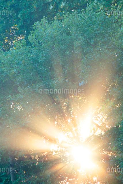 朝霧と光芒と木もれ日の写真素材 [FYI01520847]