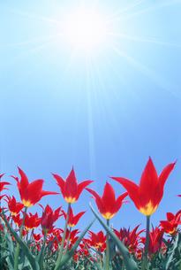 チューリップ畑と太陽の写真素材 [FYI01520866]