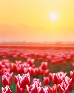 チューリップ畑と朝日の写真素材 [FYI01520927]