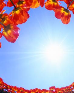 チューリップ畑と太陽の写真素材 [FYI01521004]