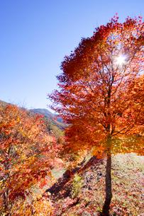 モミジ木立と木もれ日の写真素材 [FYI01521115]