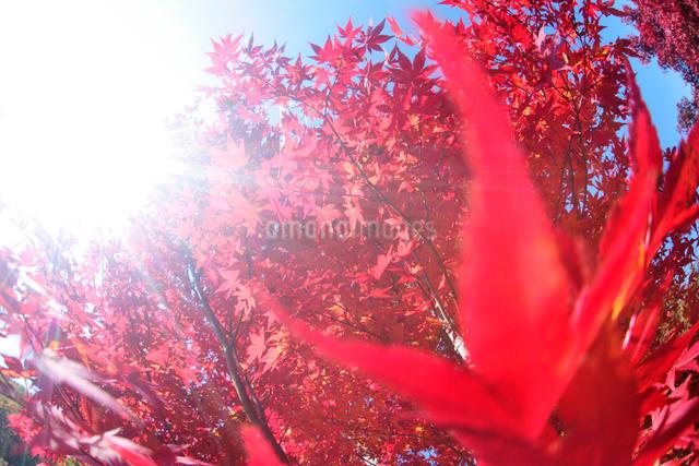 モミジと太陽の写真素材 [FYI01521132]