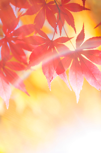 モミジと木もれ日の写真素材 [FYI01521207]