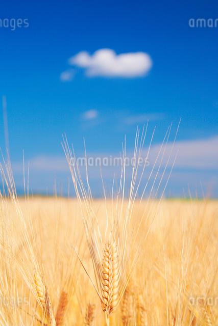 ビール麦の穂の写真素材 [FYI01521218]