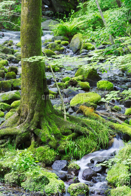 清流と苔の岩と木の写真素材 [FYI01521246]