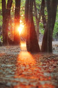 朝霧とブナ林と朝日と残雪の写真素材 [FYI01521259]