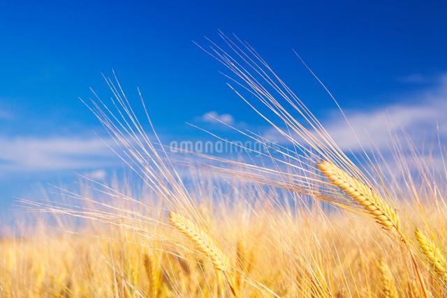 ビール麦の穂の写真素材 [FYI01521275]