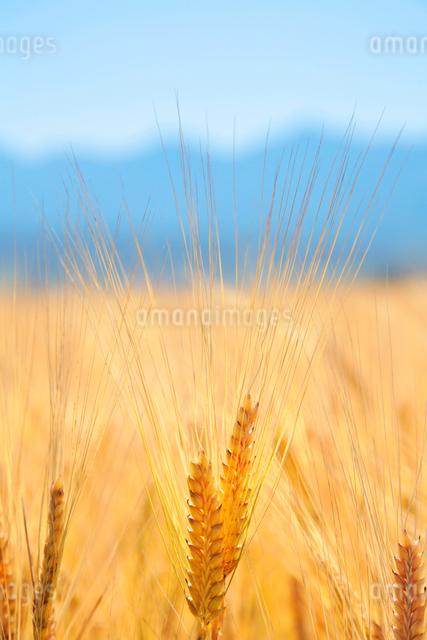 ビール麦の穂の写真素材 [FYI01521334]