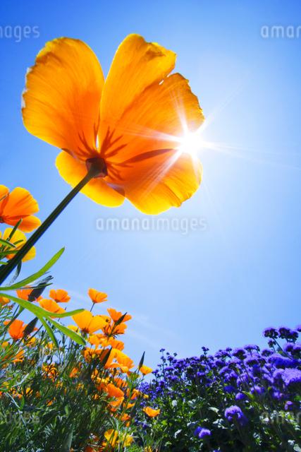 カリフォルニアポピーなど花畑と太陽の写真素材 [FYI01521340]