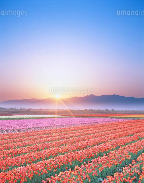 チューリップ畑と朝日と五頭連峰の写真素材 [FYI01521404]