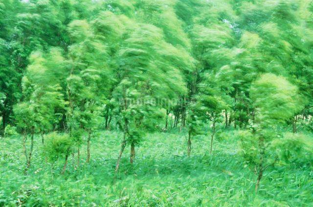 新緑の樹林と風の写真素材 [FYI01521409]