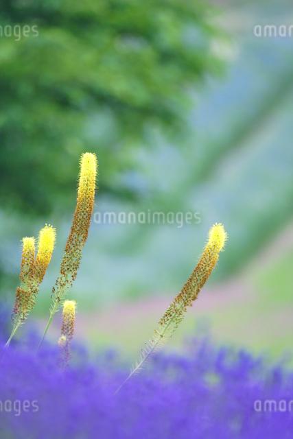 エレムレスブンゲイアゲラタムの写真素材 [FYI01521415]