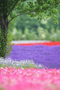 ラベンダーなど花畑の写真素材 [FYI01521426]