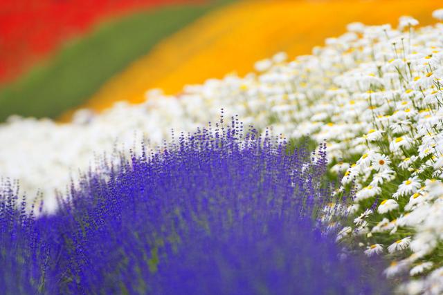 ラベンダーとデージーなど花畑の写真素材 [FYI01521429]