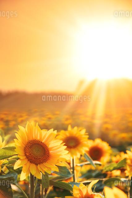 ヒマワリ畑と夕日の写真素材 [FYI01521436]