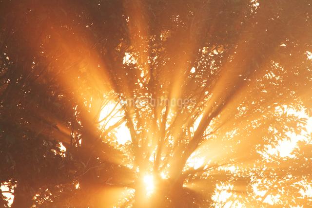 朝霧と光芒と木もれ日の写真素材 [FYI01521459]