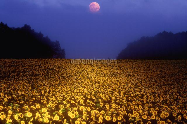 黎明のヒマワリ畑ライトアップと満月の写真素材 [FYI01521464]
