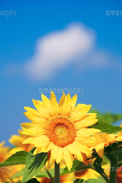 ヒマワリと青空の写真素材 [FYI01521465]