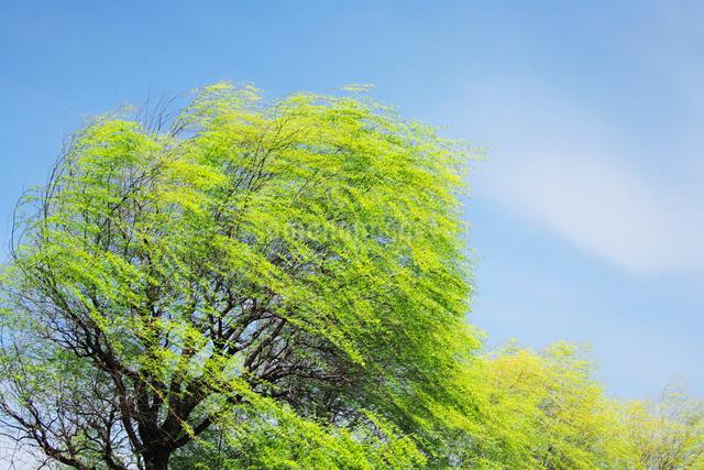 新緑のヤナギと風の写真素材 [FYI01521470]