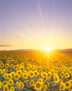 ヒマワリ畑と夕日の写真素材 [FYI01521501]