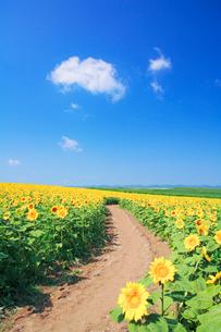 ヒマワリ畑と遊歩道の写真素材 [FYI01521525]