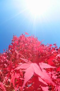 モミジと太陽の写真素材 [FYI01521583]