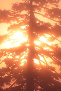 朝霧とエゾマツと朝日の写真素材 [FYI01521597]
