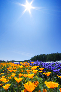 カリフォルニアポピーなど花畑と太陽の写真素材 [FYI01521612]