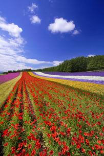 ポピーなど花畑の写真素材 [FYI01521628]