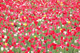 チューリップ畑の写真素材 [FYI01521642]