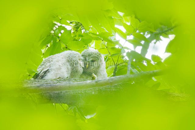 エゾフクロウの幼鳥の写真素材 [FYI01521649]