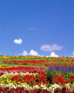 サルビアなど花畑とわた雲の写真素材 [FYI01521707]