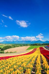 ケイトウなど花畑と十勝連峰の写真素材 [FYI01521793]