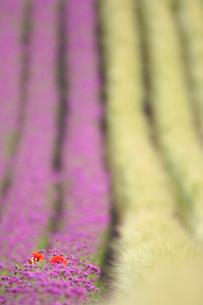 ビール麦と小町草とポピーの写真素材 [FYI01521857]
