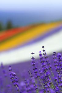 ラベンダーなど花畑の写真素材 [FYI01521859]
