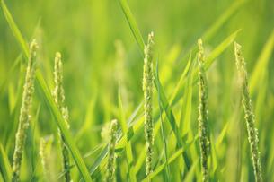 稲の花の写真素材 [FYI01521877]