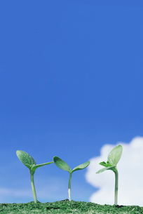 スイカの新芽の写真素材 [FYI01521885]